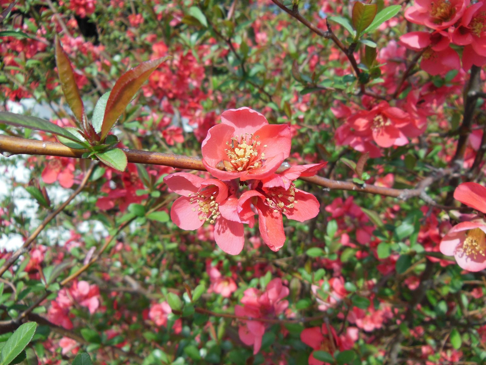 Flowering Quince Bloom