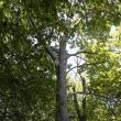 Hancock's Resolution Tupelo Tree
