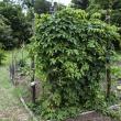 Hops: a food preservative